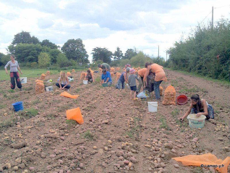 Journée de ramassage des patates