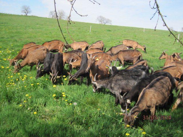 Les chèvres happy !