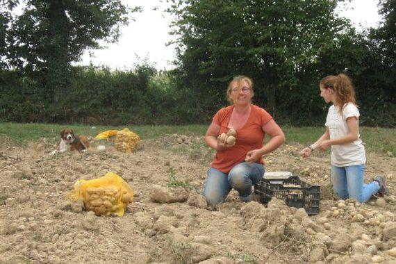 Récoltes de pommes de terre pour l'Amap